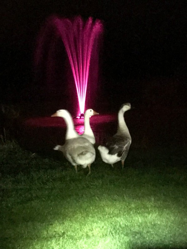 Floodlit-Geese